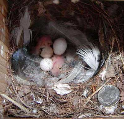 Bewick's Wren nest babies and nestlings.  Photo by Shelly Harris.