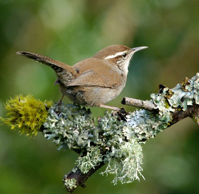 Bewick's Wren. Photo by