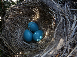 Robins eggs, photo by Bet Zimmerman