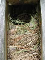 House Sparrow nest. Photo by Bet Zimmerman
