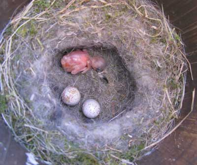 cowbird nestling in bcch nest.  Photo by Bet Zimmerman