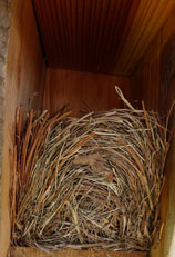 nest in a Troyer box.  Zimmerman photo