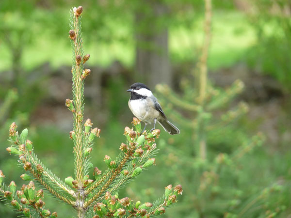 Black-capped Chickadee. Photo by Bet Zimmerman, 05/2010