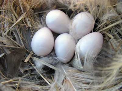 TRES nest in Bickleton WA. Bet Zimmerman photo