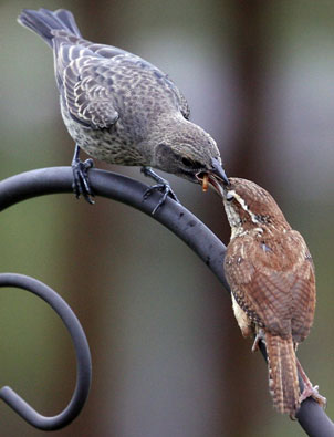 Carolina Wren adult feeding cowbird.  Photo by Dave Kinneer.