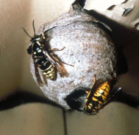 Aerial Yellowjacket. Photo by Howard Ensign Evans, Colorado State University, Bugwood.org