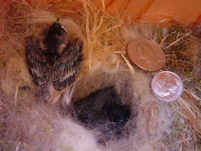12 day old chickadees. Photo by Linda Moore.