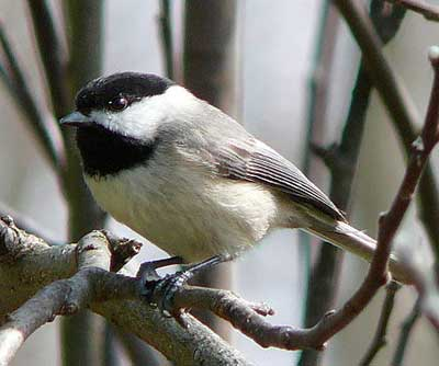 Carolina Chickadee.  Ken Thomas photo.