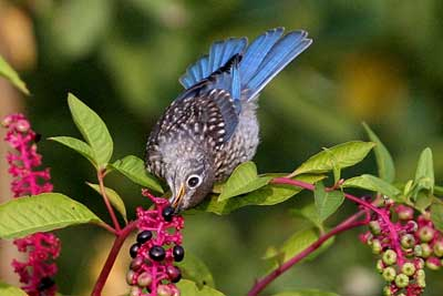 Juvenile eating pokeweed.  Photo by David Kineer.