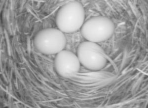 five eggs on nestcam.