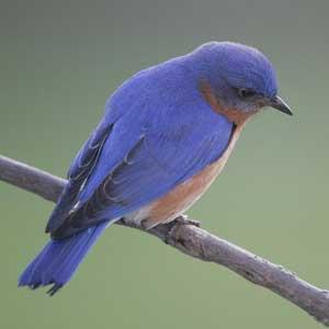 Bluebird Photo By David Kinneer