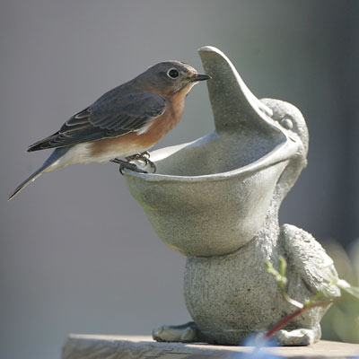 Female Eastern Bluebird at mealworm feeder.  Dave Kinneer photo.