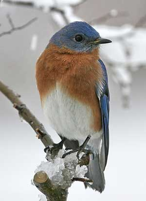 Male EABL in snow. Photo by David Kinneer
