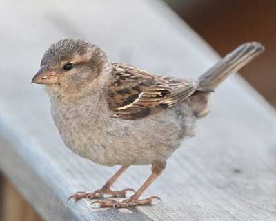 Female House Sparrow. Photo by Dave Kinneer.