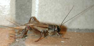 House cricket, male. Wikimedia commons photo