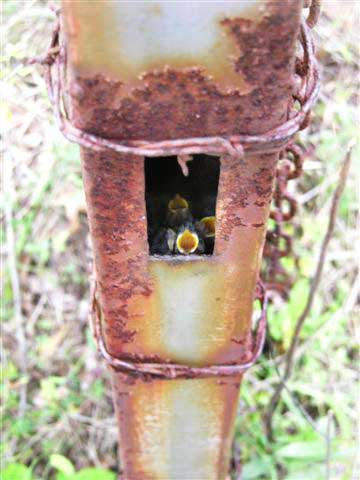 Chickadees nesting in metal post. Photo by Keith Kridler.