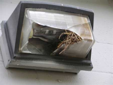House Sparrow Nest Identification House Sparrows Nesting in a