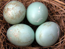 Bloody bluebird eggs. Photo by Keith Kridler.