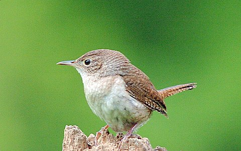 High Quality House Wren. Photo By Wendell Long.