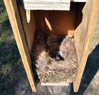 TUTI nest in Flying Squirrel box.  Photo by Keith Kridler.