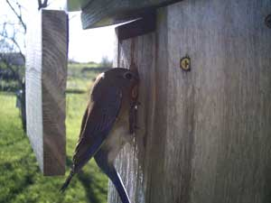 Female bluebird going under Wren Guard. Photo by Cher Layton of The Bluebird Nut.
