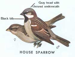 Male and female house sparrows.  From an old edition of Peterson's Field Guide to Birds.