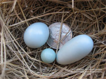 Dwarf and Double Bluebird Eggs. L Packer photo.