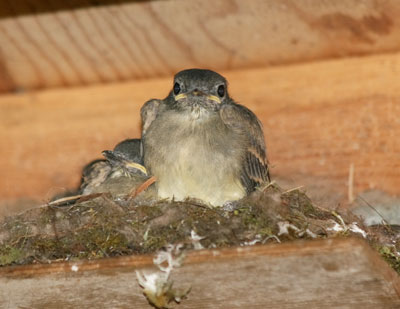 Phoebe nestling about to fledge. Photo by Linda Ruth.