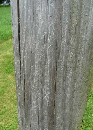 wooden pole with scratch marks. Zimmerman photo.
