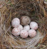 cowbird egg in chickadee nest. Photo by Jay Brindo