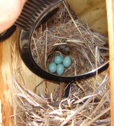 Mountain Bluebird Eggs. Photo by Zell Lundberg.