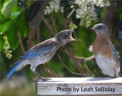Female bluebird feeding fledgling.  Photo by Leah Solliday