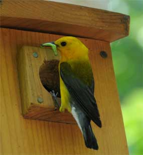 Prothonotary Warbler. Photo by Robert Peak