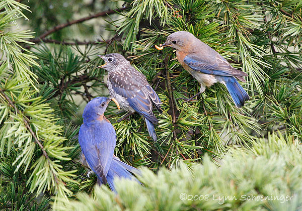 parents feeding fledglings. Photo by Lynn Shoeninger.