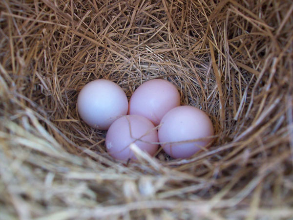 small pink speckled bird eggs