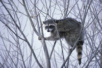 Raccoon.  Wikimedia commons photo