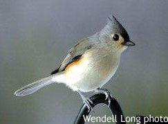 Tufted Titmouse, photo by Wendell Long