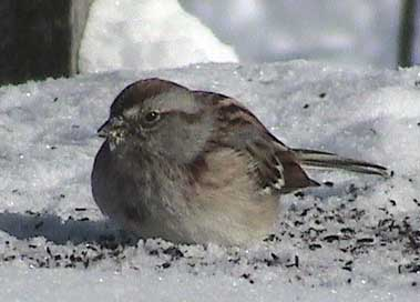 American Tree Sparrow?  Photo by John Beaudette