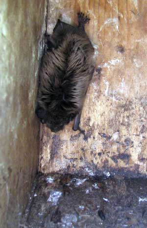 Bat in nestbox. Photo by Bet Zimmerman.