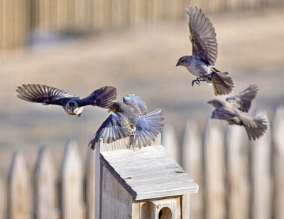Bluebird fight with Cowbirds. Photo by Dave Kinneer.