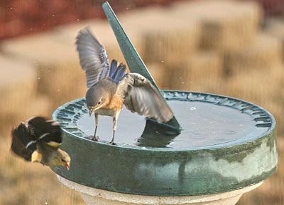 Bluebird fights with Goldfinch. Photo by Dave Kinneer.