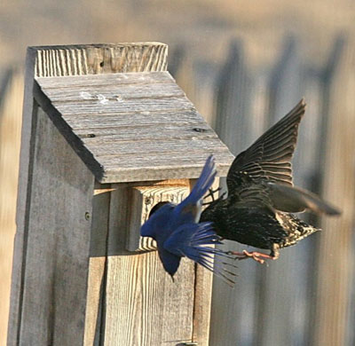 Bluebird fight with Starling. Photo by Dave Kinneer.