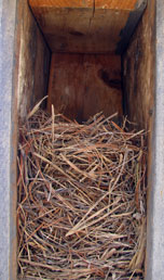 Eastern bluebird nest in peterson box. Photo by Bet Zimmerman.