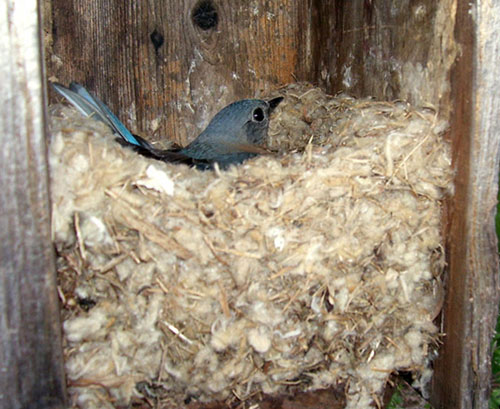 Bluebird in a nest made of cat tails.