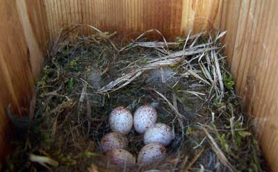 Chickadee nest. Photo by Bet Zimmerman.