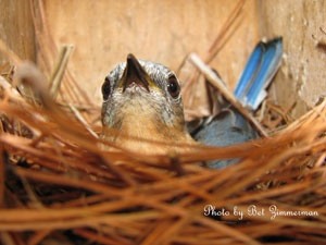 Eastern bluebird on nest.  Photo by Bet Zimmerman, www.sialis.org