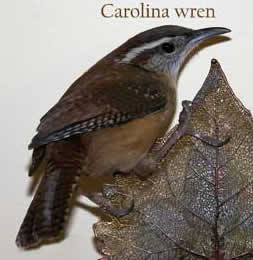 Carolina Wren. Photo by E. Zimmerman