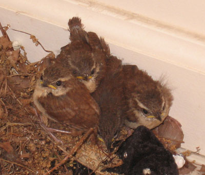 Carolina Wren fledglings.  Photo by Karen Ouimet.