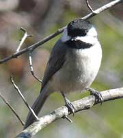 Carolina Chickadee.  Wikimedia Commons photo