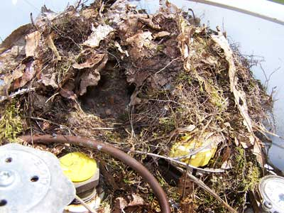 Carolina Wren nest. Photo by Bet Zimmerman.